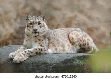 Face portrait of snow leopard with clear rock in background, Hemis National Park, Kashmir, India. Wildlife scene from Asia. Detail portrait of beautiful big cat Panthera uncia.