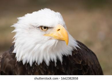 Face portrait of a wild American bald eagle