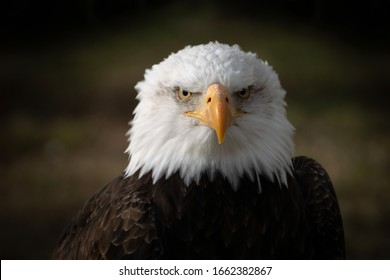 Face portrait of a wild beautiful American bald eagle