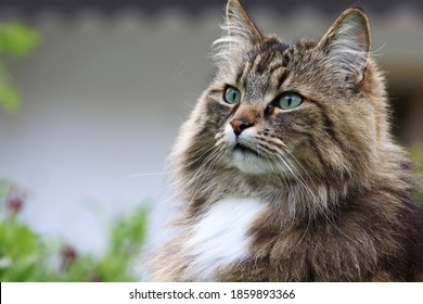 The face of a pretty Norwegian Forest Cat in the garden