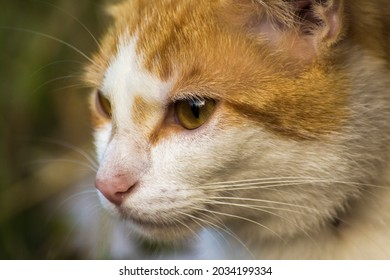 face profile of a ginger cat with a white muzzle