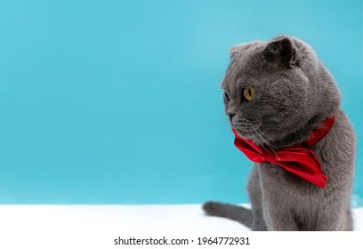 Face profile view of a gray fold cat cat looking to the side with a red bow tie around his neck against a blue background. World pet day. Copy space for pet shop poster design. Animals background.
