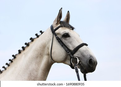 Face of a  purebred gray horse. Portrait of beautiful gray mare.  A head shot of a single horse. Grey horse close up portrait with braided mane on breeding test summer tiime