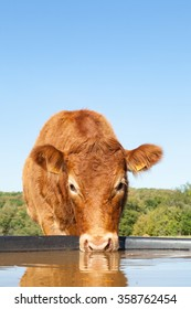Face of a red brown Limousin beef cow drinking water from a plastic tank in a sunny pasture looking alertly at the camera, close up view with copy space above