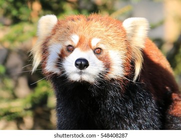 Face of a red panda close-up