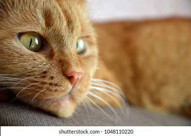 Face of a red resting cat