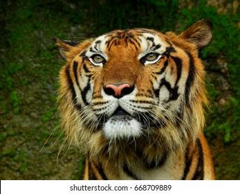 face of royal tiger