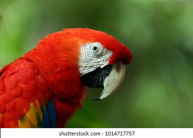 Face of The scarlet macaw (Ara macao) is a large red, yellow, and blue South American parrot, a member of a large group of Neotropical parrots called macaws. with copy space