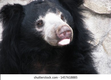 Face Selenarctos bear closeup. Muzzle black Raptor with white breast. Head black Himalayan bear with an open mouth.