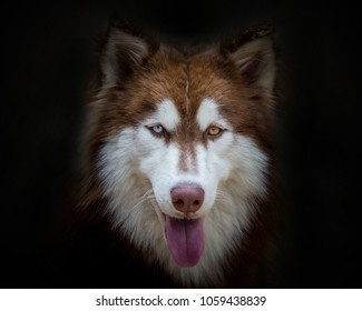 The face of a Siberian Husky dog on a black background.