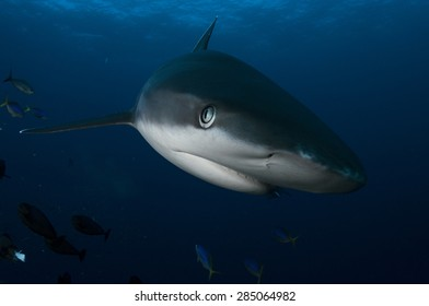 Face of a Silvertip shark