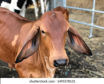 Face of smart youth red Brahman cow.