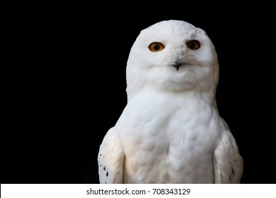 Face to face with a snow owl
