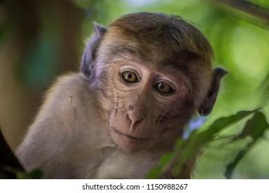 Face of Sri Lankan macaca monkey