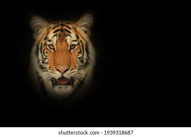 Face of Sumatran Tiger against black background