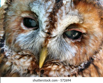 Face of a tawny owl with cataracts