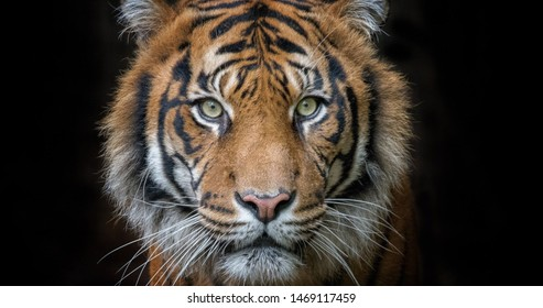 The face of tiger on the black background