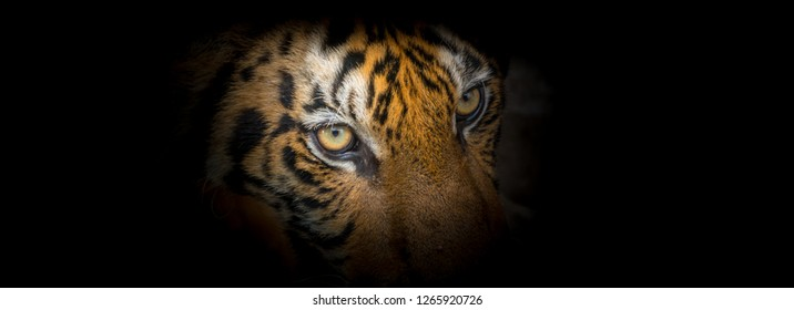 The face of tiger on the black backgrounf