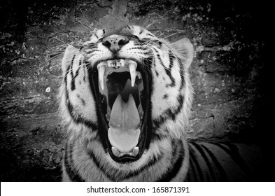 The face of a tiger on a grunge brick wall background, black&white, with vignette