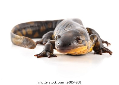Face to face with a Tiger Salamander. Isolated on a white background.