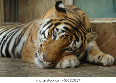 The face of a tiger in Yalta zoo. Of the Russian Federation. Republic Of Crimea.