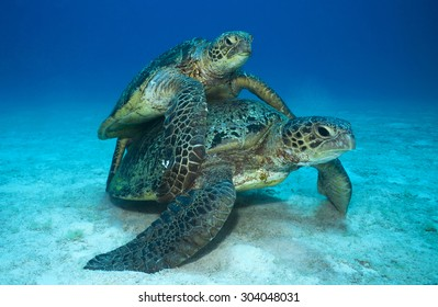 FACE VIEW OF GREEN SEA TURTLE COUPLE DURING MATTING