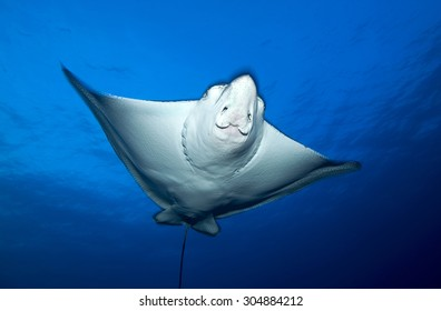 face view of spotted eagle ray swimming