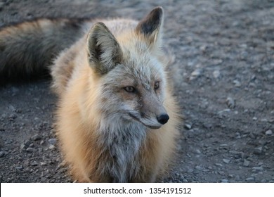 Face of Vixen Red Fox (Vulpes vulpes) along the Alaska Highway near Steamboat British Columbia Canada in May