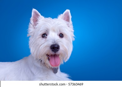 face of a west highland terrier against a blue background