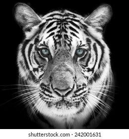 Face of a white bengal tiger, isolated on black background. Mask of the biggest cat. Wild beauty of the most dangerous and mighty beast.