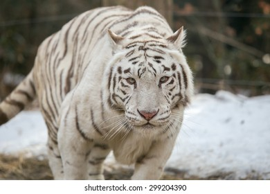 Face to face with white bengal tiger on snow background