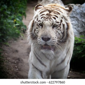 Face to face with white Bengal tiger. Bengal tiger portrait close up