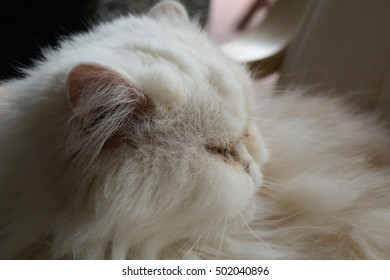 Face of a white persan cat