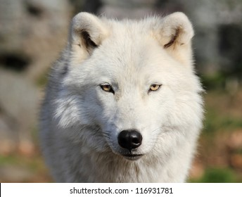 face of white wolf