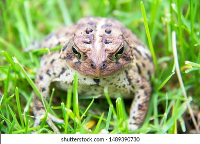 Face to face whith a toad ; Frontal view of a toad