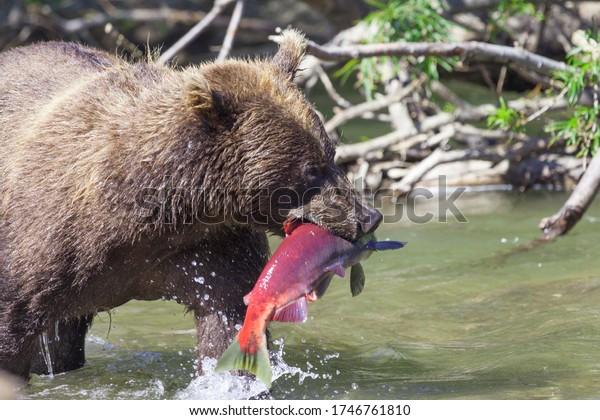face-wild-bear-fish-closeup-600w-1746761