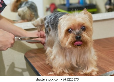 Salon Grooming Haircut Yorkshire Terrier Stock Photo Edit Now