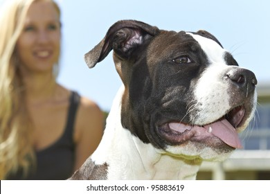 Face of young female Pit Bull with owner in background