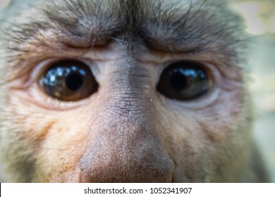Face of a young male capuchin monkey, he is just in front of the camera lens. Misahualli, Amazon in Ecuador