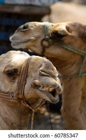 Faces of Two Camels