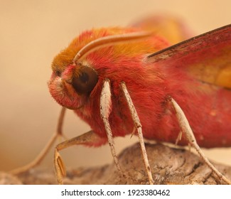 Facial closeup of the colorful pink Small Elephant Hawk-moth , Deilephila porcellus , in the Gard France