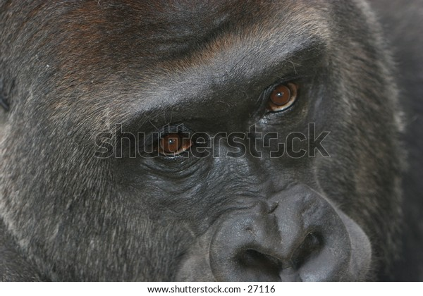Facial expression of a gorilla. Shot at Omaha zoo