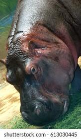 Facial features of Hippo