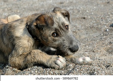 Facial photo of a young irish wolfhound chewing a stick, while looking at the photographer. .