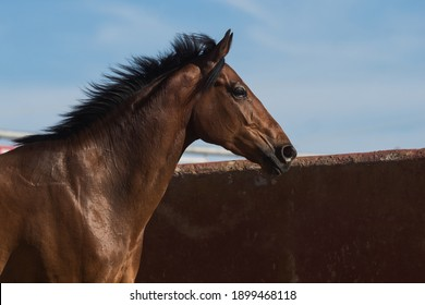 Facial portrait of a beautiful brown thoroughbred horse in freedom