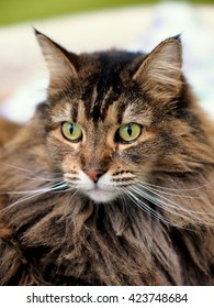 Facial Portrait of Long Hair Brown Grey Striped Maine Coon Cat with Yellow Green Eyes and Long Whiskers