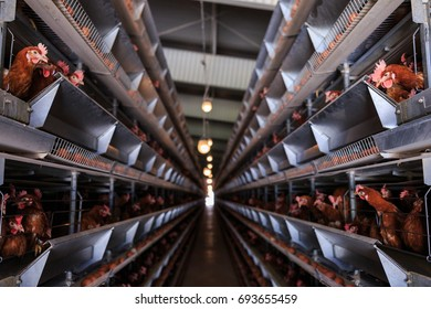 Factory chicken egg production. Red chickens are seated in special cages. Linear perspective. Agribusiness company. Concept theme: agribusiness, production of food.