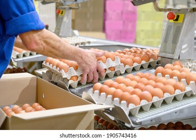 Factory Chicken egg production. Worker sort chicken eggs on conveyor. Agribusiness company. High quality photo