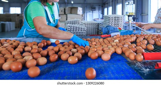 Factory Chicken egg production. Workers sort chicken eggs on conveyor. Agribusiness company.