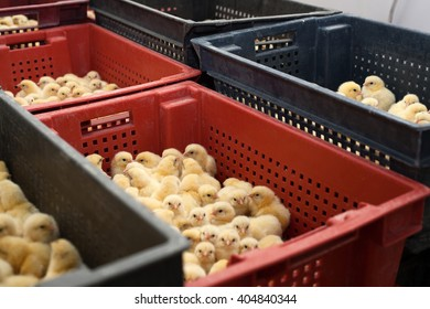 factory for the production of eggs and chickens.